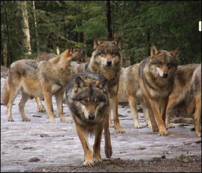Alpha le parc des loups du mercantour park saint martin - Cuisiner vesse de loup ...