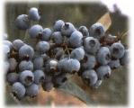 blueberries-among-other-berries