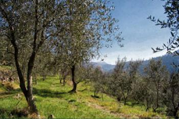 one-afternoon-under-the-olive-trees