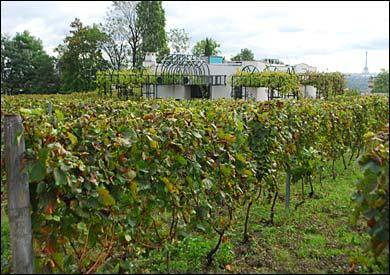 municipal-vineyards